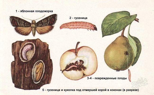 Яблунева плодожерка, як боротися