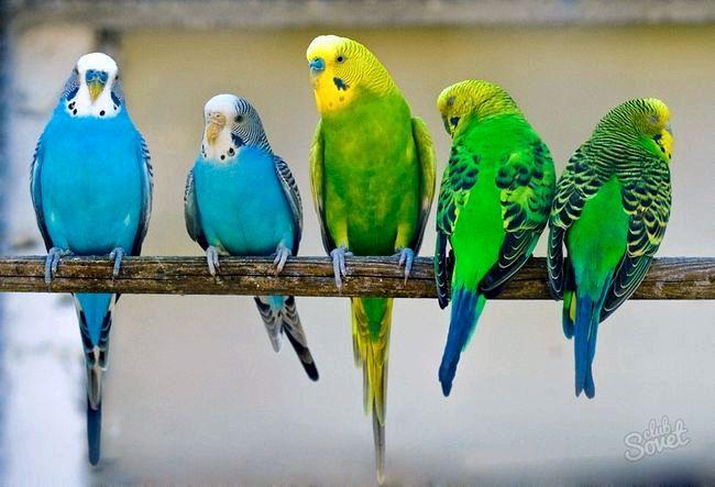 Як визначити стать у хвилястого папугу