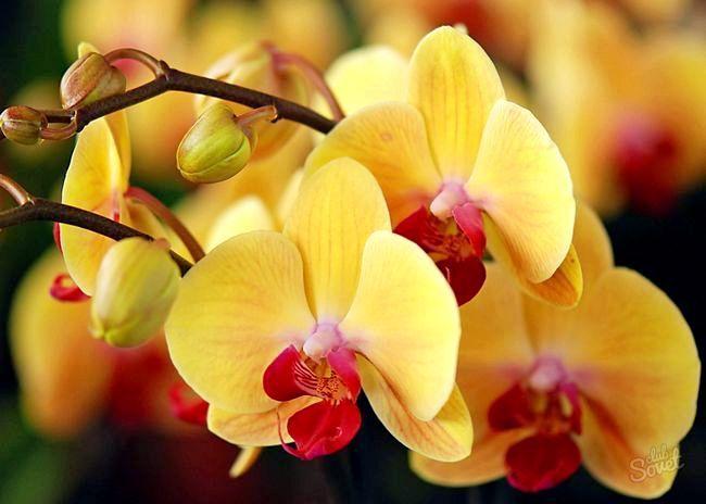 Як пересадити орхідею в горщик