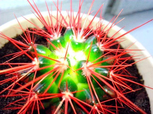 Як поливати кактус