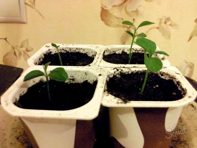 Як виростити мандарин з кісточки