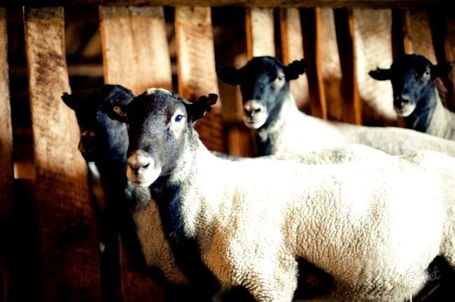 Як побудувати сарай для овець