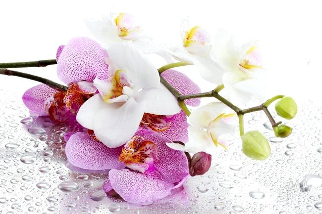 Як розсадити орхідею