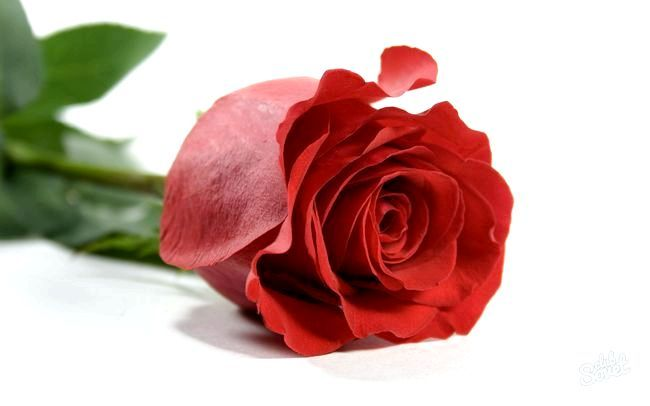 Як укоренити троянду з букета