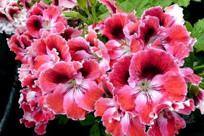 Герань цвітіння зам