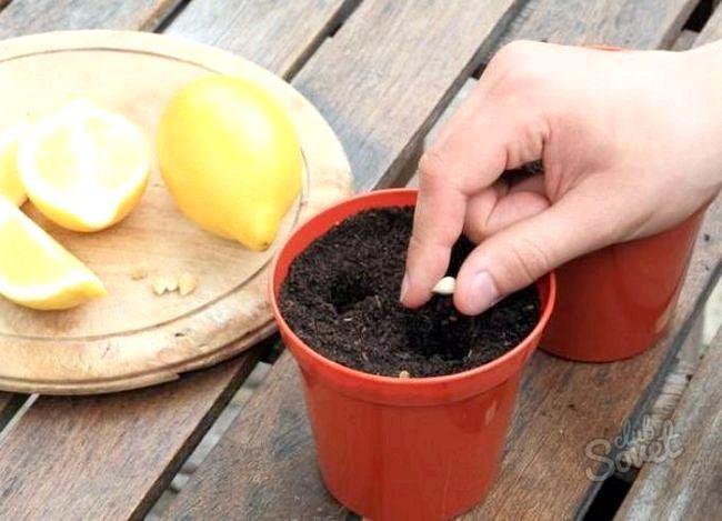 Як виростити лимон з кісточки