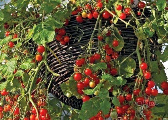 Черрі-томат-4