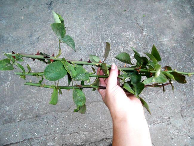 Як виростити троянду з держака