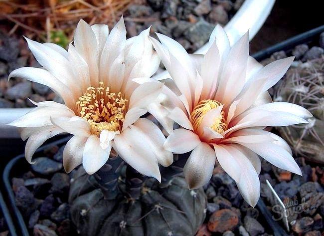 Як змусити кактус цвісти