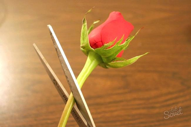 Роза 44