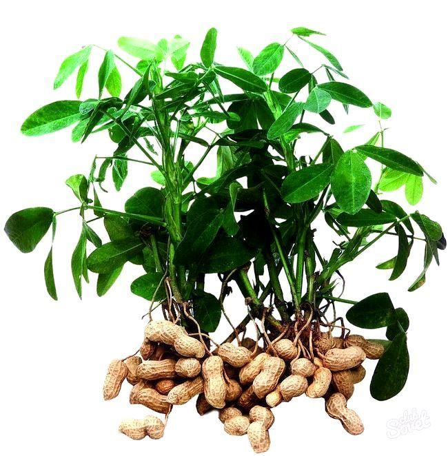 Як смажити арахіс