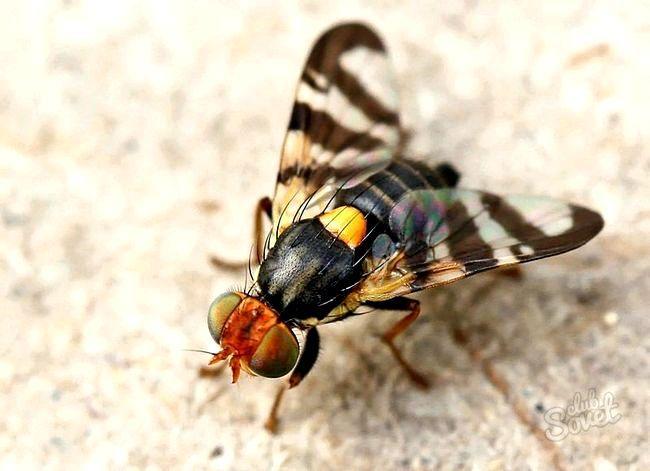 Вишнева муха - як боротися